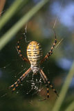 Banded Garden Spider (Argiope trifasciata) Royalty Free Stock Images