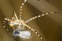 Banded Garden Spider (Argiope trifasciata) Royalty Free Stock Photography