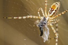 Banded Garden Spider (Argiope trifasciata) Royalty Free Stock Photo