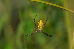 Banded Garden Spider - Argiope trifasciata. Close up of a Female Banded Garden Spider. Also known as a Banded Orb Weaving Spider. Presqu`ile Provincial Park stock photo