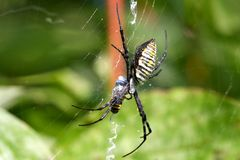 Banded Garden Spider female Royalty Free Stock Image