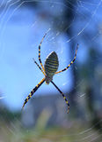Banded Garden Spider Stock Photography
