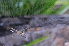Banded Garden spider with web Stock Images