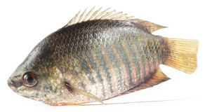 Banded gourami of Southern Asia Royalty Free Stock Photo