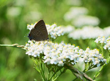 Hairstreak Butterfly Yarrow Stock Image