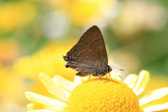 Banded Hairstreak Butterfly Stock Photography