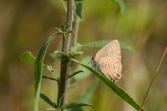 Banded Hairstreak Royalty Free Stock Photography