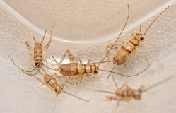 Free Banded House Crickets,  Gryllodes Sigillatus, That Are Used As Pet Food Stock Images - 166322014