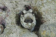 Banded Jawfish. Looking down the throat of a banded jawfish as he emerges from his burrow in the rubble stock images