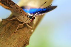Banded King Shoemaker butterfly Stock Images