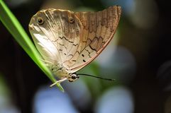 Banded king shoemaker butterfly Stock Photography