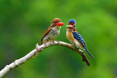 Banded Kingfisher bird Stock Photos