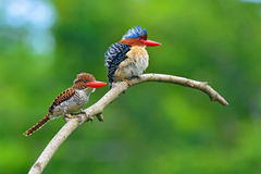 Banded Kingfisher birds Royalty Free Stock Images