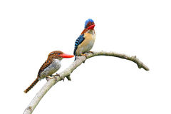 Banded Kingfisher birds Stock Photo