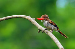 Banded Kingfisher birds Stock Photos