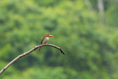 Banded Kingfisher Royalty Free Stock Photo
