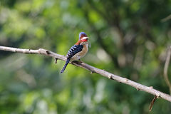 Banded Kingfisher Lacedo pulchella Stock Images