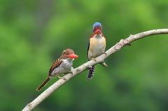 Banded Kingfisher Stock Photos