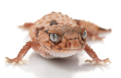 Banded Knob-tailed Gecko Stock Photo