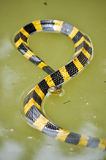 Banded krait Stock Photography