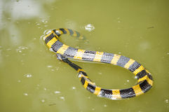 Banded krait Royalty Free Stock Photo