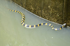 Banded krait Stock Images