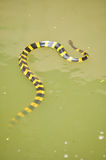 Banded krait Royalty Free Stock Photography