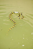 Banded krait Stock Photo