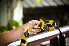 Banded Krait snake on a hand stock photo