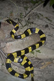 Banded krait snake specie Bungarus fasciatus in Nepal Royalty Free Stock Photography