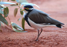 Banded Lapwing Royalty Free Stock Photography