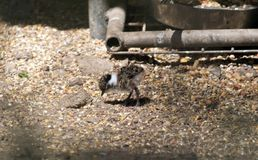 Banded lapwing chick Stock Image