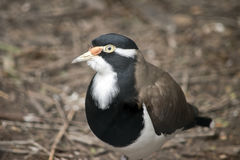 Banded lapwing Stock Image