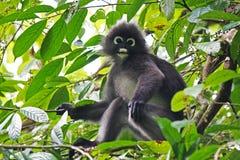 Banded leaf monkey Royalty Free Stock Image