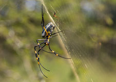 Banded-legged Golden Orb-web Spider female in its net at Hlane Royal National Park. Swaziland Royalty Free Stock Image