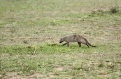 A Banded mangooes moving in grassland Stock Photo