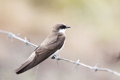Banded Martin Stock Photo
