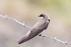 Banded Martin Stock Images