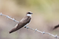 Banded Martin Royalty Free Stock Photography
