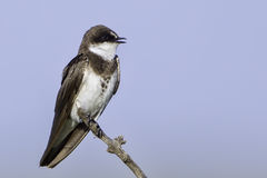 Banded Martin Singing. The Banded Martin is a small, 6 (15cm) bird that hawks insects in the air Stock Photography