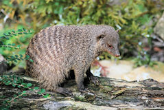 Banded Mongoose. (Mungos mungo) in zoo Royalty Free Stock Photography