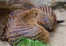 Banded Mongoose. In a ball Royalty Free Stock Image