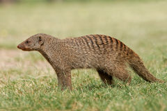 Banded mongoose. (Mungos mungo), Etosha National Park, Namibia Stock Images