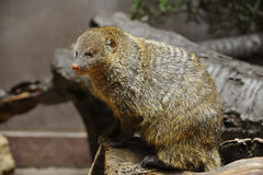 Banded Mongoose. Is sitting and looking Royalty Free Stock Image
