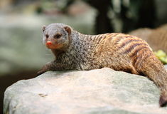 Banded mongoose. (Mungos mungo) in Singapore zoo Royalty Free Stock Photo