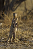 Banded mongoose. Standing upright; Mungos mungo; South Africa Royalty Free Stock Images