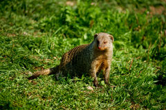 Banded mongoose. On a grass field Stock Image