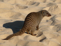 Banded mongoose 2 Stock Image