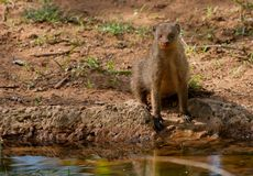 Banded mongoose. A lone banded mongoose looks surprised sitting at the waters edge Royalty Free Stock Photos