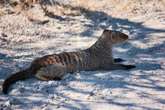 Banded Mongoose. At Etosha Park Stock Images